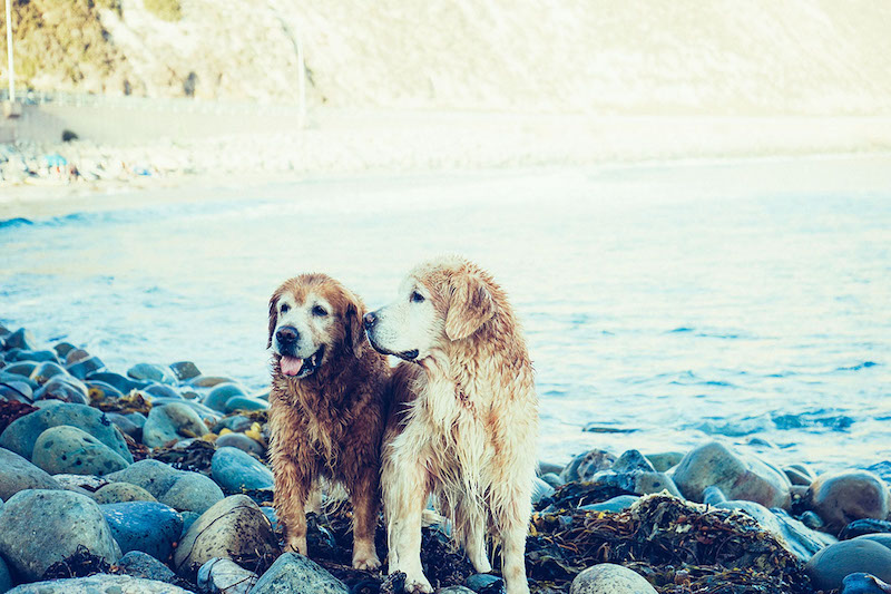 beach-dogs-copy