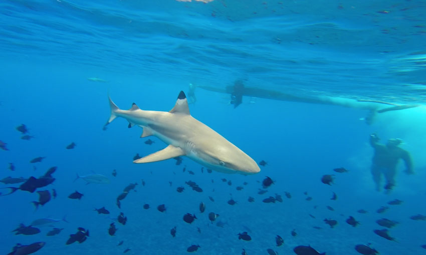 shark-swimming-in-blue-water