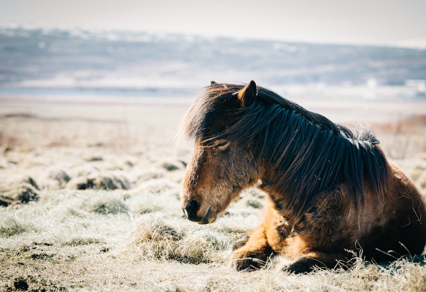 Horse laying down in field, Iceland
