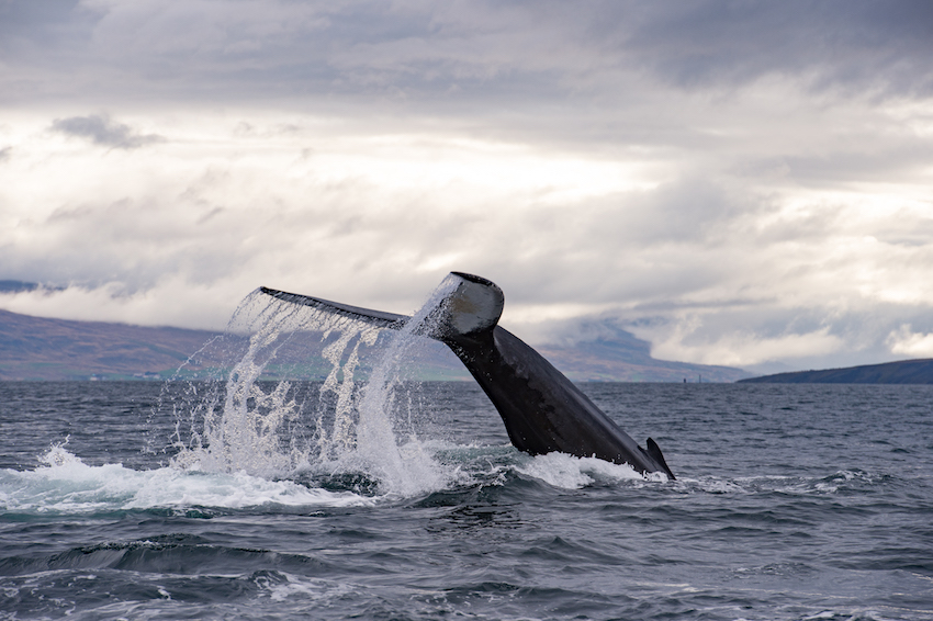 Whale's tail splashing in ocean, Iceland