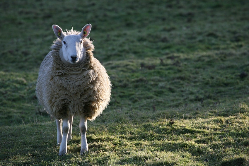 sheep standing in field looking at camera